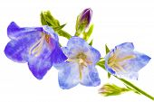 foto of blow-up  - Bluebell on the white background - JPG