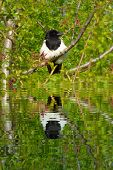 Magpie On Tree Branch With Water Refections