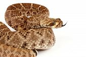 Western Diamondback Rattlesnake On White Background.