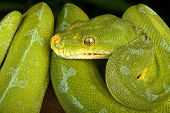 Green Tree Python. Closeup animal portrait.