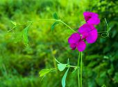 picture of sweet pea  - A close - JPG