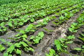 pic of bean sprouts  - fresh green cultivated kidney bean sprouts on seedbeds - JPG