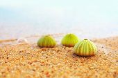 pic of echinoderms  - group of green sea urchin shells on sandy beach - JPG