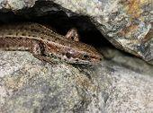stock photo of lizard skin  - Common viviparous lizard basking on warm stone close - JPG