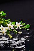 picture of gardenia  - gardenia with green plant on black pebbles  - JPG