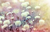 foto of dandelion  - Dandelion seeds  - JPG