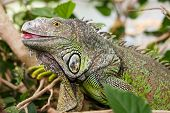Постер, плакат: Green Iguana Reptile