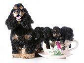 picture of fluffy puppy  - litter of american cocker spaniel puppies with their mother  - JPG