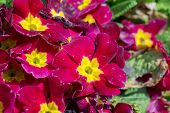 image of primrose  - closeup of beautiful red primrose in garden  - JPG