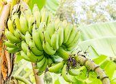 image of bunch bananas  - The Bunch of bananas in green garden - JPG