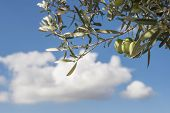picture of olive branch  - Olive branches on foreground - JPG