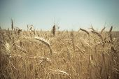 stock photo of pentecostal  - Close up of a golden wheat field. Blurred background. - JPG