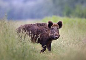picture of boar  - Close up of wild boar walking in high grass - JPG