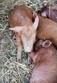 Piglets Suckling Mother Sow