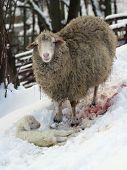 Sheep And Lamb, Birth