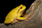 Green Tree Frog on a branch (Hyla arborea)