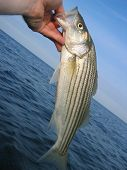 Seapoint Beach Striper 4 Maine