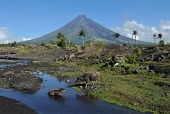 pic of carabao  - Mount Mayon Volcano in the province of Bicol - JPG
