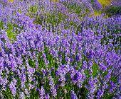 Bereich der Lavendel in den Bergen