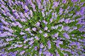 Feld Lavendel in Berg