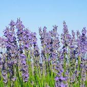 Lavendel blau