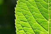 Green Spring Leaf