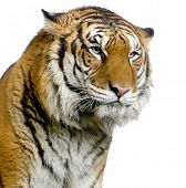 close-up on a Tiger's face in front of a white background. All my pictures are taken in a photo stud
