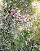 A Cluster Of Pink Desert Flowers