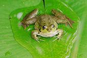 Pool Frog 2