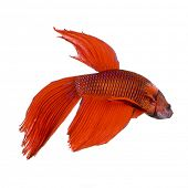 shot of a red Siamese fighting fish under water in front of a white background
