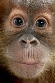 Close-up of baby Sumatran Orangutan, 4 months old