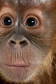 Close-up of baby Sumatran Orangutan, 4 months old