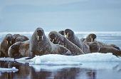Walrus On Ice Flow