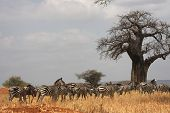Zebras And Baobab