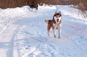 Brown Husky Dog Runs. Redhead Siberian Husky Cheerfully Playing. poster