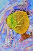 Aspen Leaf And Plant Oils