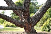 The Stone Pine, Botanical Name Pinus Pinea, Also Known As The Italian Stone Pine, Umbrella Pine And  poster