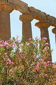 Oleander flor perto colunas antigas de Dorian