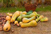 Pumkin Harvest