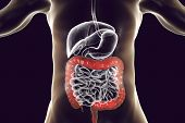 Human Digestive System Anatomy With Highlighted Large Intestine, 3d Illustration poster