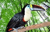 beautiful tucan sitting on a branch