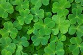 Green background with three-leaved shamrocks. St. Patricks day holiday symbol.  Shallow DOF. Selec poster