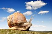 stock photo of hermaphrodite  - Garden snail  - JPG
