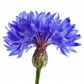 centáurea azul centaurea isolado no branco