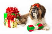 A Shih Tzu Christmas