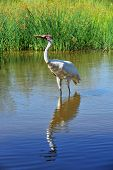 Today, there are 534 Whooping Cranes: 382 in the wild, 152 in captivity. A conservation success stor