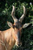 Red Hartebeest Portrait