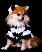 Pomeranian Prisoner