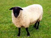 picture of suffolk sheep  - A suffolk Black faced ram looking at camera - JPG