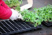 planting geranium